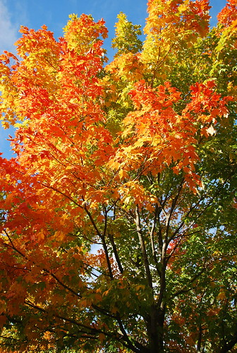 Sugar maple tree fall colours in Ontario