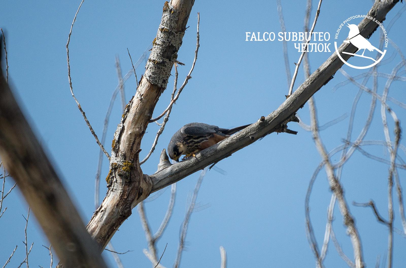 Falco subbuteo // 20181016