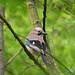 Eurasian Jay (Bois de Vincennes)