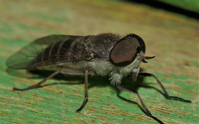 October Night biting fly Airlie Beach rainforest P1420547