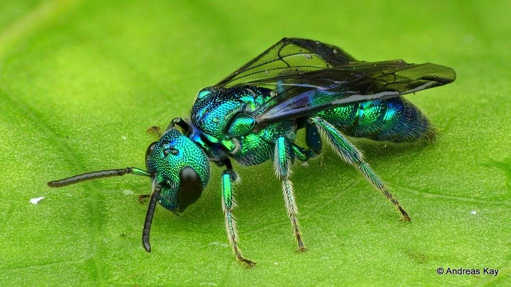 Iridescent Bee, Temnosoma sp., Halictidae