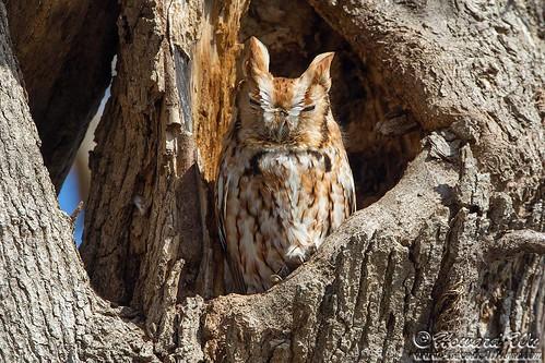 eastern_screech_owl1