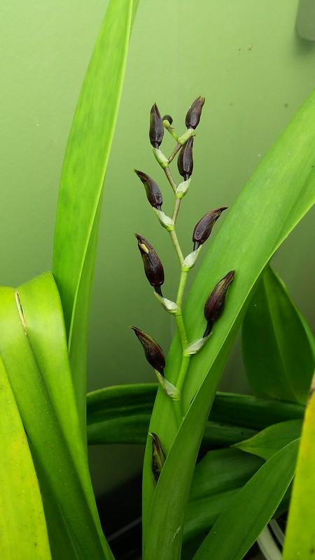 Les orchidées chez Sougriwa - Page 9 30632038477_50251d5bab_c