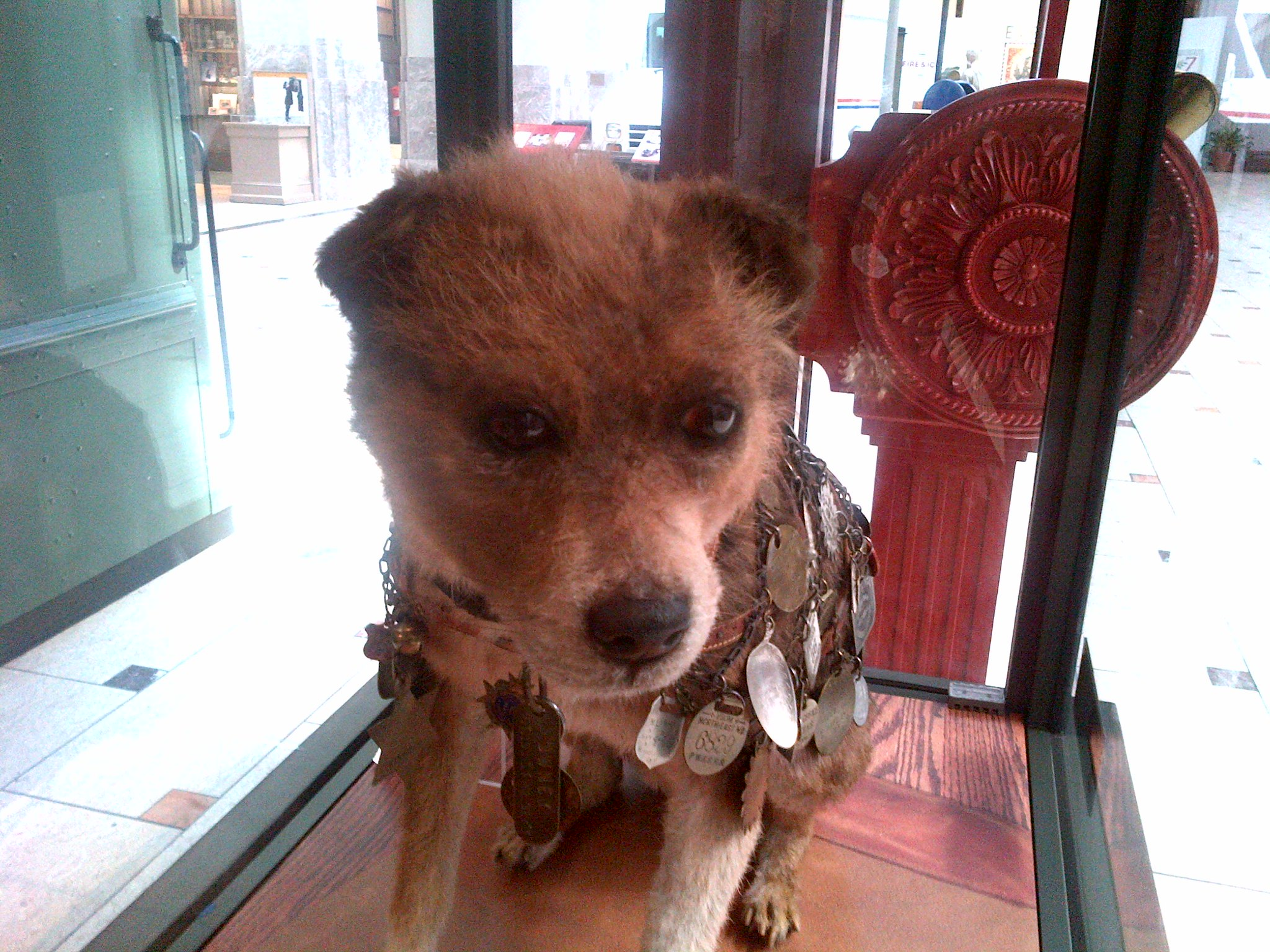 Owney (ca. 1887 – June 11, 1897), was a Border terrier adopted as the first unofficial postal mascot by the Albany, New York, post office about 1888. The Albany postal workers recommended the dog to their Railway Mail Service colleagues, and he became a nationwide mascot for 9 years (1888–97). He traveled throughout the 48 contiguous United States and voyaged around the world traveling over 140,000 miles in his lifetime as a mascot of the Railway Post Office and the United States Post Office Deparment. Owney was honored with his own U.S. commemorative stamp, released on July 27, 2011 (Scott #4547). The dog's preserved body is on display at the Smithsonian National Postal Museum (NPM) in Washington, D.C. Photo taken on March 5, 2014.