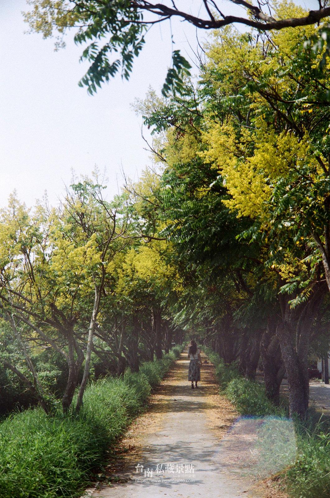 台南台灣欒樹27
