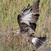Snail Kite With A Snail by ruthpphoto