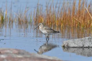 Bécasseau variable plumage automnale--Dunlin Fall plumage (Calidris alpina)