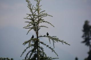 Chirpy Birds