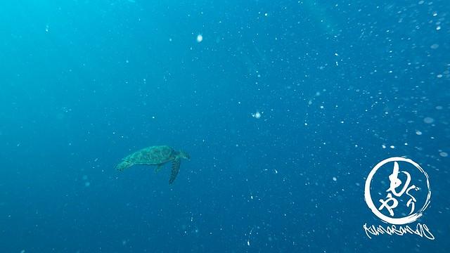 アオウミガメがふらふら~