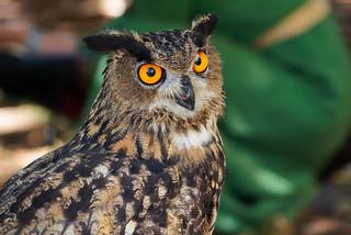 Owl at Jarmok