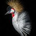 Grey Crowned Crane by Wee Malky
