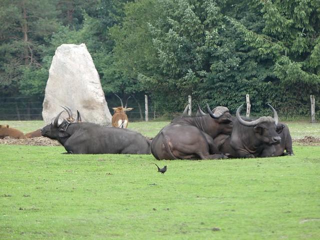 kaffernbüffel, Zoo Givskud