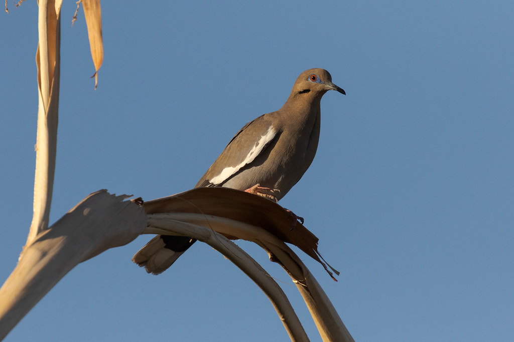 A white-winged dove perches on a palm tree in the Buenavante neighborhood of Scottsdale, Arizona