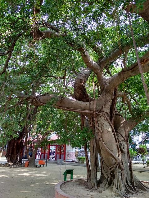 开元寺榕树
