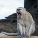 Vervet Monkey (Chlorocebus pygerythrus) Верветка