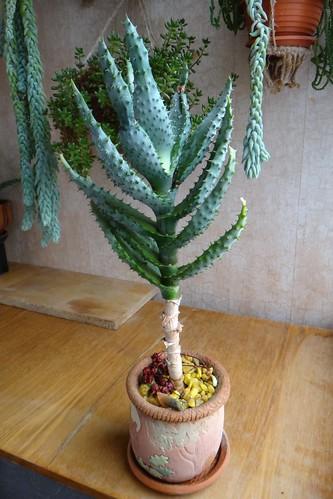 Алоэ устрашающее (Aloe ferox)