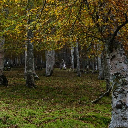 Bosque de abedules en otoño en Cantabria