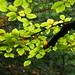 Beech Leaves