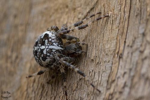 280A6355-Garden Spider