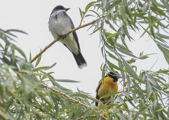 Eastern Kingbird  and Robin