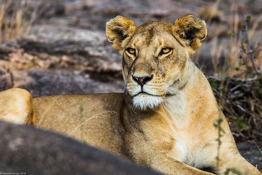Serengeti_17sep18_08_mama leone2