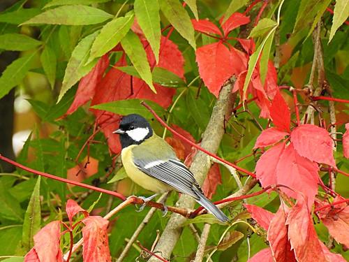 Mésange charbonnière et couleurs d'automne