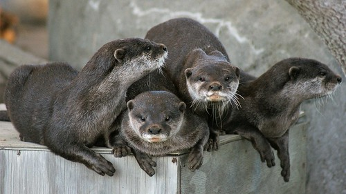 Orana Park: Asian small-clawed otters