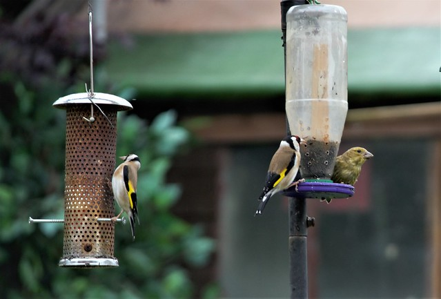 2 goldfinch and a siskin