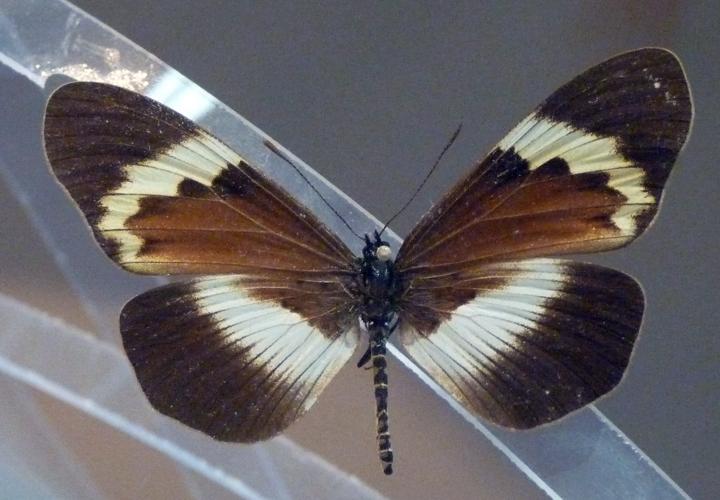 Acraea quadricolor 30637042317_8d55d670de_o