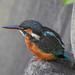Kingfisher 181020065-2.jpg
