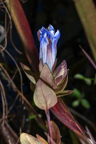 Gentiana catesbaei (Catesby's Gentian) [Explored 2018-10-29]