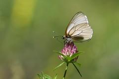 Black-veined White Butterfly (Sort-året Hvidvinge), Digne-les-Bains - Photo of Champtercier