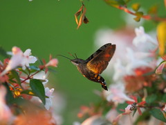 Hummingbird hawk moth (Macroglossum stellatarum, ホウジャク)