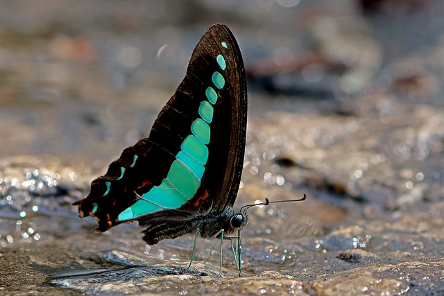 Graphium sarpedon - the Common Bluebottle