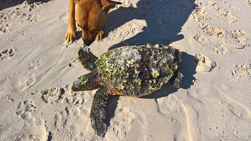 The sea turtle is still alive! But how can we help it?