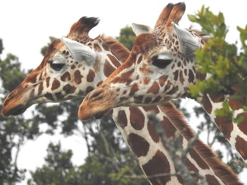 duo two pair twogiraffes portrait closeup treetops reticulatedgiraffe inthewild aberdare aberdarenationalpark mweigahill walkingwithgiraffes kenya africa safari africansafari p900 jennypansing