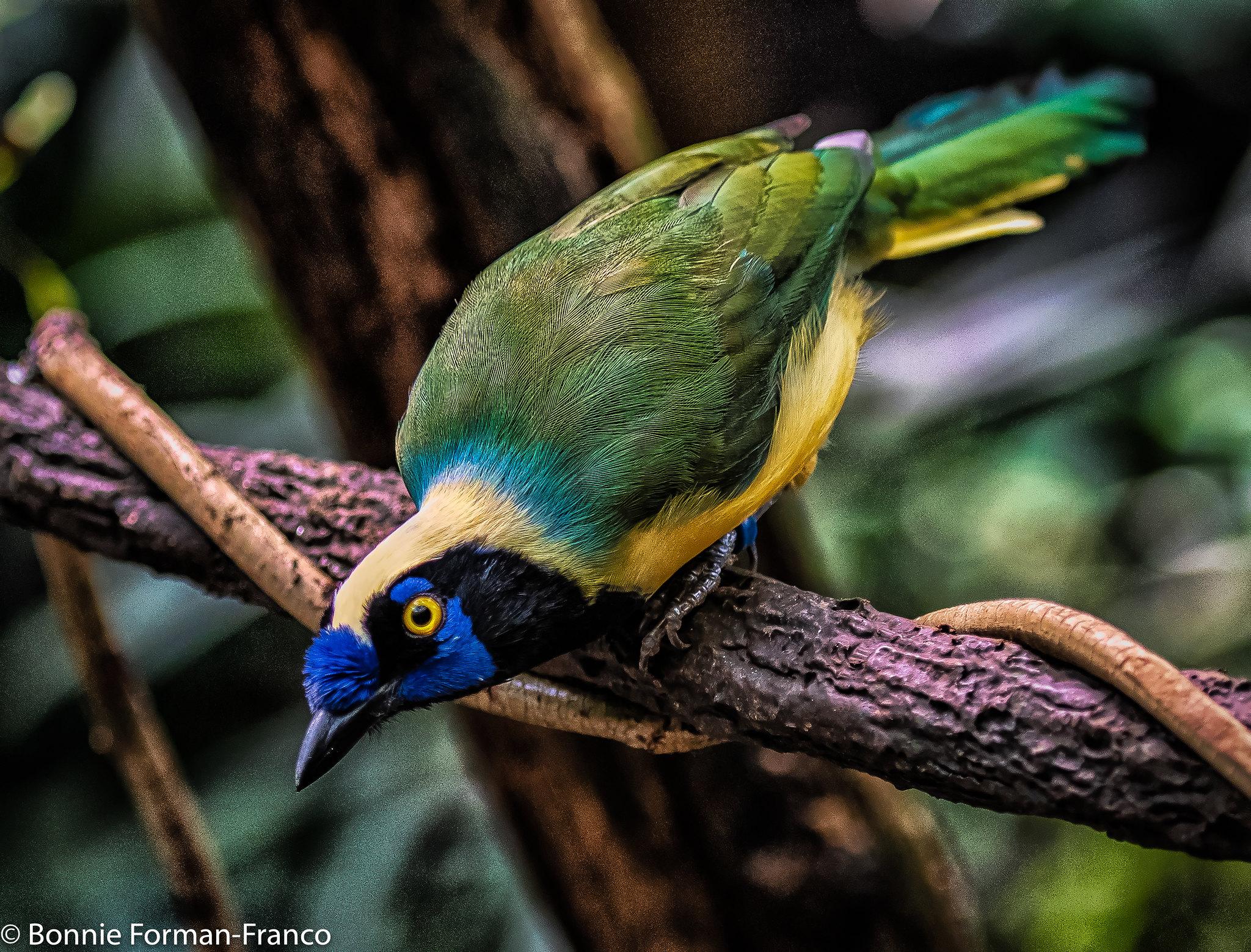 INCA JAY BIRD 20181017_2018 BRONX ZOO_D85_7069