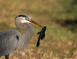 Great Blue Heron ready for a snack