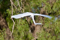 Great Egret ( on the move )