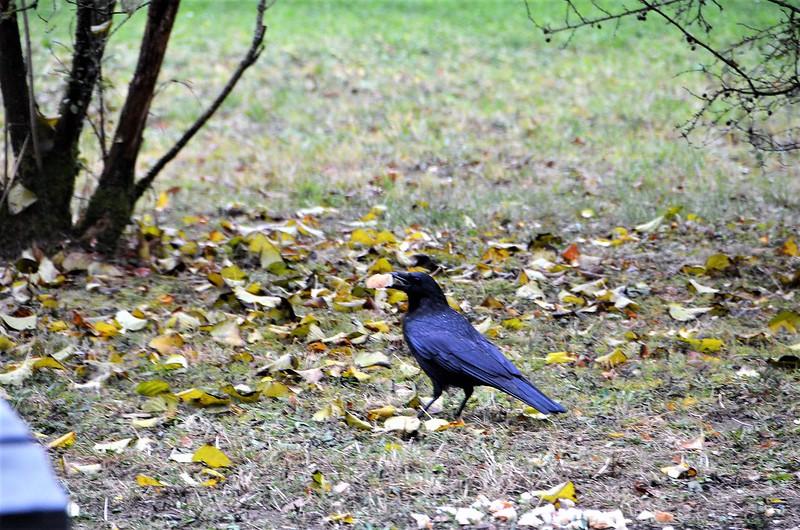Crow 28.10 (2)
