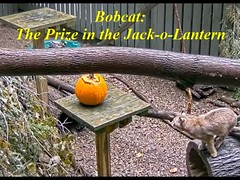 Bobcat_The Prize in the Pumpkin 01