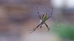 Black and Yellow - Garden Spider