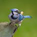 Blue Jay-47472.jpg