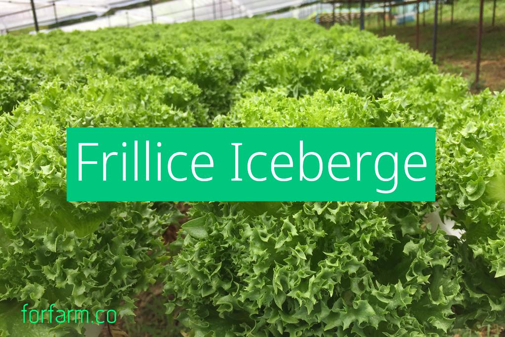 ฟิลเลย์ ไอซ์เบิร์ก (Frillice Iceberg Lettuce)