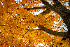 Looking Up Through a Canopy of Yellow Leaves