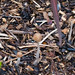 Inconspicuous mushroom, wood chippings mulch