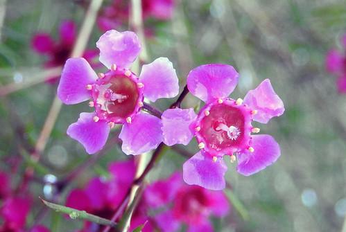 Geraldton Wax Bush (Chamelaucium uncinatum)_Travellers Rest Motel_July 2018