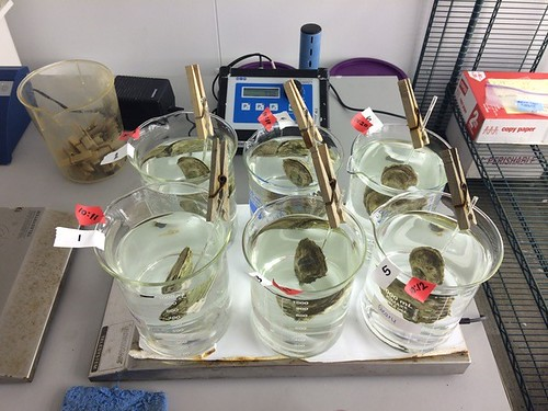 Measuring the effect of exposure on eastern oysters' clearance rate of bacteria from the water.