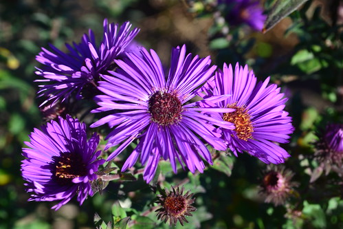 SYMPHYOTRICHUM novae-angliae 'Ivy Patterson'