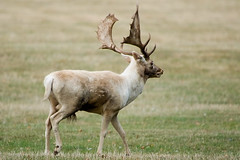 Stag - Holkham Hall
